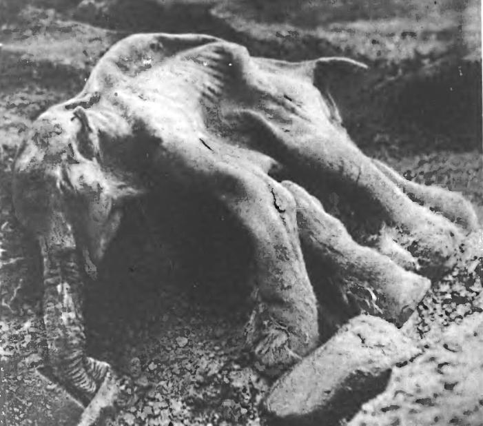 Мамонт, найденный в Магаданской области в 1977 году